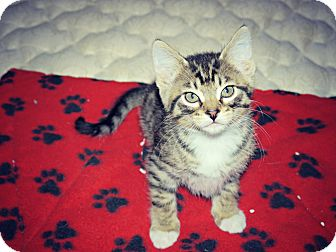 Domestic Shorthair Kitten for adoption in Des Moines, Iowa - Oliver