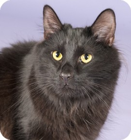 Maine Coon Cat for adoption in Chicago, Illinois - Keifer