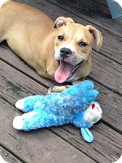 Boxer/Bulldog Mix Puppy for adoption in Spring Hill, Florida - Gracie