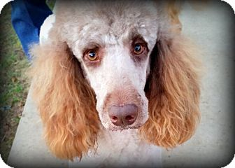 Standard Poodle Dog for adoption in Weatherford, Texas - *TOFFEE*
