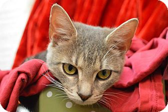 American Shorthair Cat for adoption in Moody, Alabama - Silver Belle