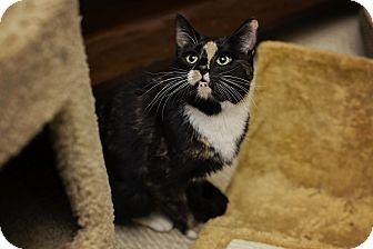 Domestic Shorthair Cat for adoption in Fredericksburg, Virginia - Brooklyn