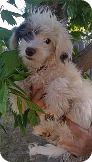 Chinese Crested Mix Puppy for adoption in Temecula, California - Romeo
