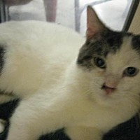 Domestic Shorthair Cat for adoption in Logan, Utah - Shari