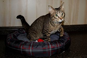American Shorthair Cat for adoption in Jackson, Mississippi - Ozzy