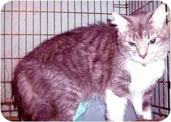 Maine Coon Cat for adoption in New York, New York - Angel