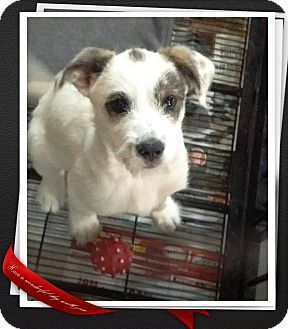 Jack Russell Terrier Mix Puppy for adoption in Apache Junction, Arizona - Bronson