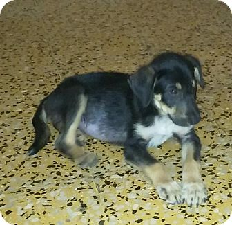 Shepherd (Unknown Type) Mix Puppy for adoption in Walden, New York - Polly