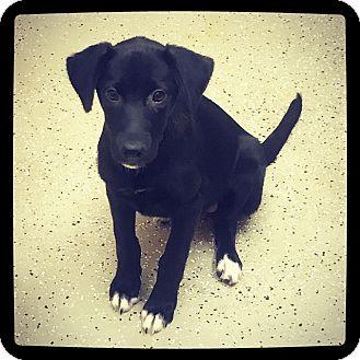 Labrador Retriever Mix Puppy for adoption in Grand Bay, Alabama - Lily
