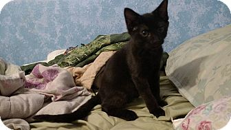 Domestic Shorthair Kitten for adoption in Stafford, Virginia - Forman