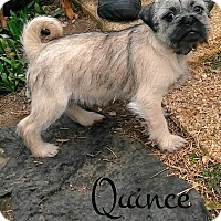 Adopt A Pet :: Quince - House Springs, MO