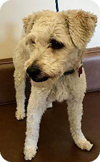Poodle (Standard) Mix Dog for adoption in Las Vegas, Nevada - Gargamel