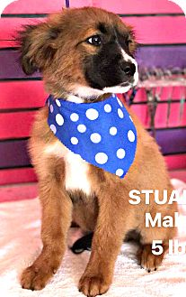 Australian Shepherd/Shepherd (Unknown Type) Mix Puppy for adoption in Boulder, Colorado - Stuart