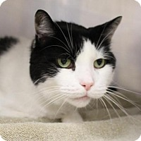 Domestic Shorthair Cat for adoption in Westampton, New Jersey - BJ 35517518