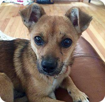 Chihuahua Mix Dog for adoption in Potomac, Maryland - Kona - No Longer Accepting Applications