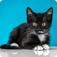 Adopt A Pet :: Paolo - Chandler, AZ