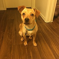 Chihuahua/Terrier (Unknown Type, Small) Mix Puppy for adoption in Phoenix, Arizona - Milly