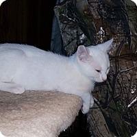 Adopt A Pet :: Angelo - Simpsonville, SC