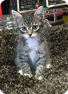Maine Coon Kitten for adoption in Montclair, California - Gracie