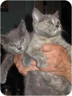 Russian Blue Kitten for adoption in Farmington, Michigan - Blue Babies