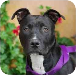 American Pit Bull Terrier Mix Puppy for adoption in Berkeley, California - Ivy