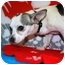 Photo 3 - Chihuahua/Chihuahua Mix Puppy for adoption in Broomfield, Colorado - Drummer Boy