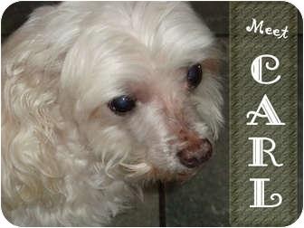 Maltese Dog for adoption in San Diego, California - Carl
