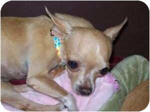 Chihuahua Mix Dog for adoption in Edmond, Oklahoma - Allie