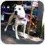 Photo 3 - American Bulldog/American Staffordshire Terrier Mix Dog for adoption in Warren, Michigan - Joey