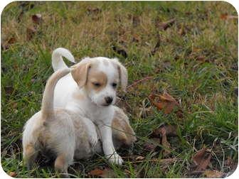 Bichon Frise/Dachshund Mix Puppy for adoption in Wilminton, Delaware - Speed Bump