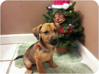 Shepherd (Unknown Type)/American Pit Bull Terrier Mix Puppy for adoption in Oak Lawn, Illinois - Rosco