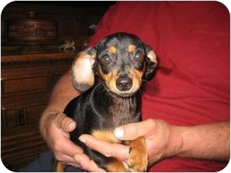 Dachshund/Chihuahua Mix Puppy for adoption in Allentown, Pennsylvania - Gale
