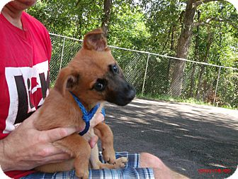 Shepherd (Unknown Type) Mix Puppy for adoption in Cranford, New Jersey - Apollo