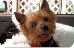 Yorkie, Yorkshire Terrier Mix Dog for adoption in Homer, New York - Mr. Tiddlywinks
