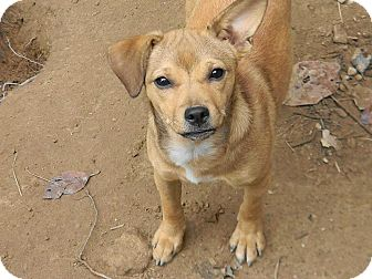 Terrier (Unknown Type, Small)/Chihuahua Mix Dog for adoption in Harrisonburg, Virginia - Roxanne
