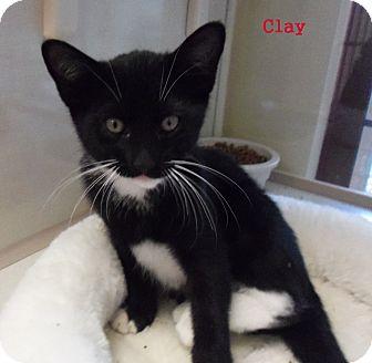 Domestic Shorthair Kitten for adoption in Slidell, Louisiana - Clay