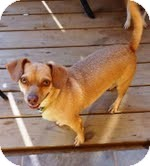 Dachshund/Chihuahua Mix Dog for adoption in Londonderry, New Hampshire - Nod
