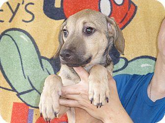 German Shepherd Dog/Labrador Retriever Mix Puppy for adoption in Oviedo, Florida - Peg