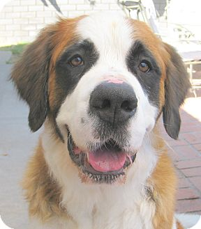 St. Bernard Dog for adoption in Bellflower, California - Kima