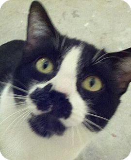Domestic Shorthair Cat for adoption in Denton, Texas - Rogue
