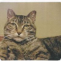 Adopt A Pet :: Kit Kat - Kalispell, MT