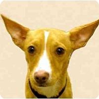 Adopt A Pet :: Preston - New York, NY