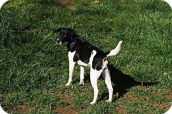 Pointer Mix Dog for adoption in North Brunswick, New Jersey - Joy