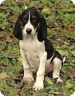 Basset Hound/Beagle Mix Puppy for adoption in Brattleboro, Vermont - Mason