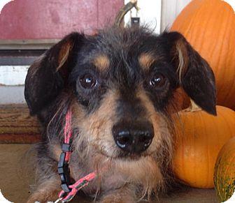Dachshund Mix Dog for adoption in Vacaville, California - Grandiose Gus Gus