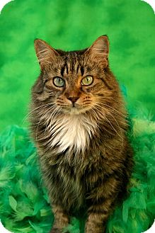 Domestic Longhair Cat for adoption in Marion, Wisconsin - Mama Mia