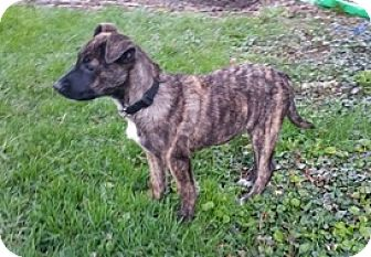 Shepherd (Unknown Type) Mix Puppy for adoption in Toledo, Ohio - Aggy