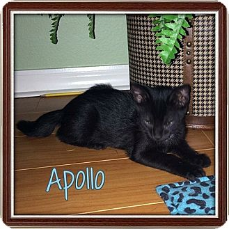 Domestic Shorthair Kitten for adoption in Tampa, Florida - Apollo