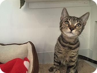 Domestic Shorthair Kitten for adoption in Brooklyn, New York - Max