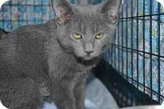 Domestic Mediumhair Kitten for adoption in Edwardsville, Illinois - Pumpkin